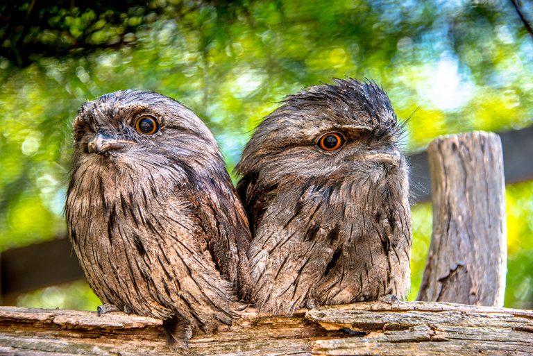 Tawny Frogmouth - Bonorong Wildlife Park Photo: Poon Wai Nang